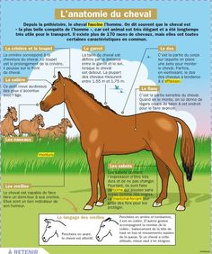 The most important role of equestrian clothing is for security Although horses can be trained they can be unforeseeable when provoked. Riders are susceptible while riding and handling horses, espec… Read In French, Learn French, Horse Anatomy, French Phrases, Equestrian Outfits, Horseback Riding, Horse Riding, Animals For Kids, Kids Learning