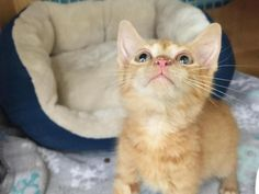 Bean * Bean Cat • Domestic Short Hair-orange • Baby • Male • Small Happy Homes Animal Rescue Old Bridge, NJ