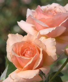 Apricot candy hybrid tea rose