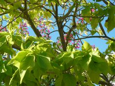 A bright morning shot of pink bougainvillea laced through bright green leaves.