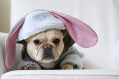 bunny frenchie