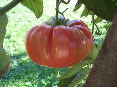 Brandywine tomato, of course