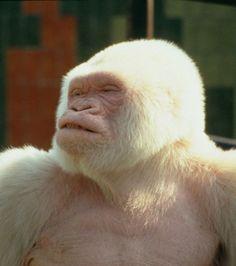 Photos: Snowflake the Albino Gorilla Extinct Animals, Rare Animals, Unique Animals, Animals And Pets, Primates, Mammals, Amphibians, Gorila Albino, Albino Gorilla