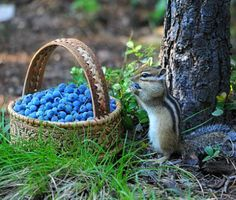 """A Chipmunk:  """"Oooh!  My Favourite Fruit!"""""""
