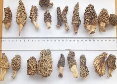 New product same superior quality and great prices. Wild morel mushrooms 2cm stem beautiful product get them while supplies last. Standard free shipping. #slofoodgroup #cheflife #chefsofinstagram  #chef #instagood #instadaily  #instagood #instadaily #instagram #cooking #culinaria #bestoftheday  #food #foodporn #gastronomy #aloha #instafollow