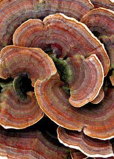 """pearl-nautilus: """" Turkey Tail Fungus """""""