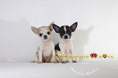 www.chihuahuas-love.com
