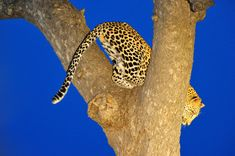 Leopard image taken at blue hour on a night drive at Lukimbi Safari Lodge Lion Images, Night Photography, Wildlife Photography, Kruger National Park, National Parks, Milky Way Images, Male Lion, Nocturnal Animals