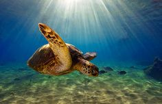 Sea Turtle at Black Rock, Kaanapali Hawaii - by Marty Wolff