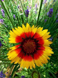 Gaillardia pulchella ( Indian blanket flower )