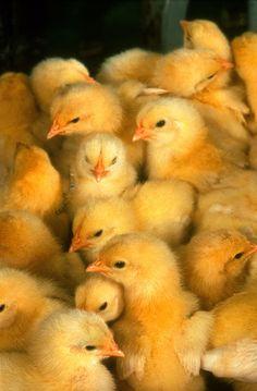 More chicks - ニワトリ - Wikipedia