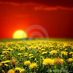 Sunrise on dandelion field by Ivan Mikhaylov, via Dreamstime