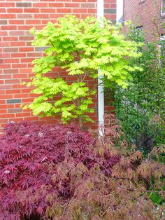Acer Shirasawanum 'Aureum' -- Golden Full Moon Japanese Ma ...