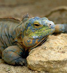 San Salvador Iguana