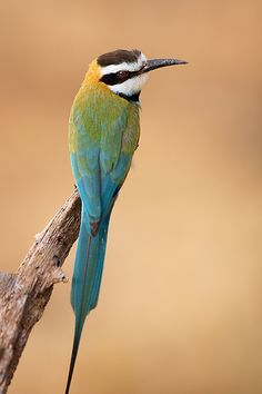 The White-throated Bee-eater is a near passerine bird in the bee-eater family Meropidae. It breeds in semi-desert along the southern edge of the Sahara, Africa.