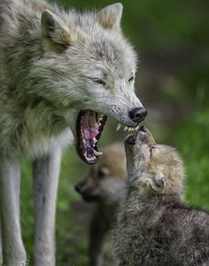 This is an arctic wolf mother with her pups. Photographed at Parc Omega, Montebello, Quebec Canada