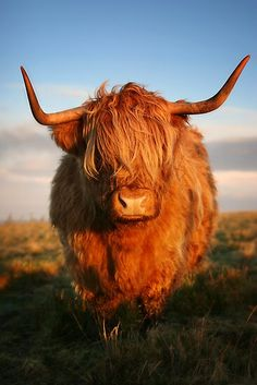 I REALLY want one of these cows! Highland Cattle: This animal looks so kind and gentle. A very nice Black and White photo! Cute Baby Cow, Baby Cows, Cute Cows, Scottish Highland Cow, Highland Cattle, Cow Pictures, Animal Pictures, Longhorn Rind, Beautiful Creatures