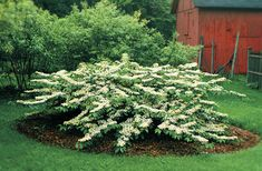 It can be risky for a nursery owner to go out on a limb about naming his favorite plants. but i have absolutely no qualms about saying that viburnums are my Michael Johnson, Vaping, Lawn And Garden, Garden Beds, Garden Shrubs, Snowball Viburnum, Landscape Design, Garden Design, Specimen Trees