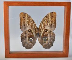 Beautiful Giant Owl Butterfly Caligo Idomeneus Male. by VSSoutlet