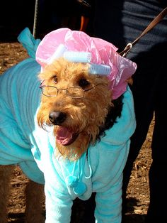 Dog wearing shower cap, hair curlers and bathrobe