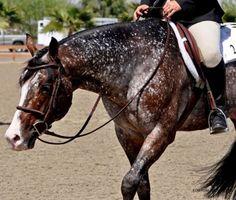 Man o Love Bay Appaloosa Stallion
