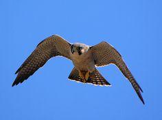 Peregrine Falcon california - Google Search