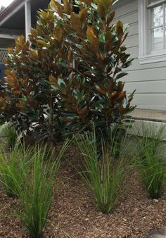 Little Gem, underplanted with Lomandra tanika, Small Front Yards, Modern Front Yard, Side Yards, Little Gem Magnolia Tree, Magnolia Trees, Courtyard Landscaping, Driveway Landscaping, Magnolia Gardens, Cottage Garden Plants