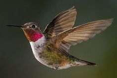 Learn The Sounds Hummingbirds Make - Songs, Calls and More