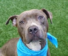 GREYSON - A1118976 - - Manhattan  TO BE DESTROYED 07/26/17 *PUBLICLY ADOPTABLE* A volunteer writes: Over the last 14 years I volunteered at the care center, I met quite a number of Greysons. Somehow, most of them were very similar…greyish, shabby, gentle, loving and easy going. Thankfully, all found their way to a caring family. The last Greyson edition is no different. Greyson is a sweet soul, clearly not spoiled by life, attuned to his caretaker, a soft presence tha
