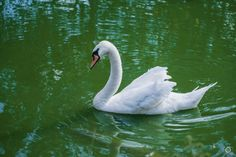 White Swan in Water Background