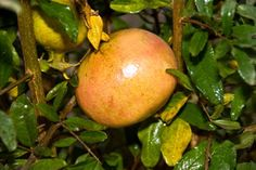 """Utah Sweet Pomegranate Tree:  (Punica Granatum) """"...neat, rounded shrub or small tree that grows 20-30 ft. The attractive pink-orange flowers have 5 to 8 crumpled petals and are red, fleshy and tubular which persists on the fruit. The pomegranate is self-pollinated as well as cross-pollinated by insects which increases the fruit set. The fruit is very sweet, good quality with pink pulp and skin. The seeds are notably softer... zones: 6 - 10"""""""