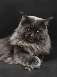 Want to know if Maine Coon Kittens are playful (They are very playful) and what traits they have before you adopt then look no further. I Love Cats, Big Cats, Crazy Cats, Cool Cats, Cats And Kittens, Pretty Cats, Beautiful Cats, Animals Beautiful, Cute Animals
