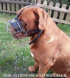 Very Comfortable Wire Muzzle for Dogue de Bordeaux #doguedebordeaux #dogmuzzle #leather #doggear #dogsupplies #dogaccessories