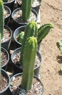 How to Propagate your San Pedro Cactus - Kaktus Cactus Care, Cactus Flower, Cactus Plants, Propagating Cactus, Plant Propagation, San Pedro Cacti, Organic Gardening Tips, Garden Care, Succulents Garden
