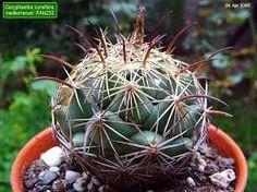 Resultado de imagem para notocactus horstii