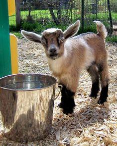 Nigerian dwarf goats for fresh goat milk and goat cheese. Tiny Goat, Baby Animals, Cute Animals, Barnyard Animals, Animal Babies, Miniature Goats, Cute Goats, Funny Goats, Nigerian Dwarf Goats