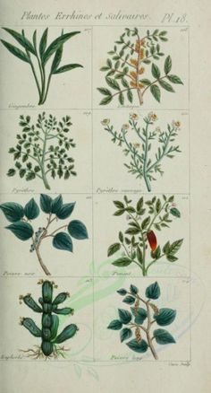 plants-07170 - gingembre, lentisque, pyrethre, poivre, piment, euphorbe [1573x2925] 17th picture leaf qulity ArtsCult nice wall naturalist vintage floral botany flora Artscult collection high  botanical plants commercial instant free illustration decoration scrapbooking blooming 300 dpi pre-1923 use natural lithographs grass public ArtsCult.com pages 1900s old beautiful engravings nature craft 1800s Pictorial royalty pack clipart printable download Paper herb Edwardian scan 1700s leaves fabric m Old Book Pages, Art Clipart, Nature Crafts, Picture Collection, Free Illustrations, Wall Collage, Vintage Floral, Bloom, Clip Art