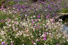 Воздушные кружева. Лучшие вуальные растения. Неизменным инструментом флористики, средством составления изящных букетов всегда служили так называемые вуальные растения — культуры, которые благодаря мелким, но очень изящным цветкам кажутся живыми кружевами. Такие растения можно использовать не только для подчеркивания красоты срезанных цветов, но и в дизайне сада. Невесомые и поразительно изящные, эти кружевные крохи способны стать лучшими компаньонами для красивоцветущих солистов. Сегодня они…