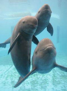 Rare Chinese Porpoises ( Yangtze finless porpoise ) Love porpoises :( These are Ocean,Tallulah and Fizz)
