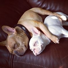 French Bulldogs 'Spooning', ❤