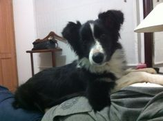 Posando Border Collie, Dogs, Animals, Pictures Of Dogs, Dog Breeds, Animales, Animaux, Pet Dogs, Doggies