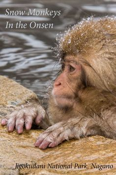 Photos and travel tips to see the snow monkeys of Jigokudani in Nagano, Japan