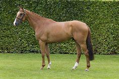 Horses – Dutch Sport Horse Sales