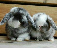 Mini Lop Bunnies, Holland Lop Bunnies, Cute Baby Bunnies, Funny Bunnies, Mini Lop Rabbit, Bunny Rabbits, Animals And Pets, Funny Animals, Fluffy Bunny