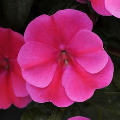 A 2015 All-America Selections award winner, Bounce 'Pink Flame' has larger flowers than standard impatiens and thrives in sun or shade! http://www.bhg.com/gardening/gardening-trends/new-annuals-for-2015/?socsrc=bhgpin042315impatientsbouncepinkflame&page=12