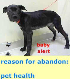 Manhattan Center DOCK – A1046277 ***DOH HOLD 08/01/15*** MALE, BLACK, PIT BULL MIX, 4 mos STRAY – STRAY WAIT, HOLD FOR DOH-NHB Reason PET HEALTH Intake condition ILLNESS Intake Date 08/01/2015 http://nycdogs.urgentpodr.org/dock-a1046277/