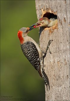 Berry Nice Breakfast - Red-bellied Woodpeckers by Marina Scarr, via 500px