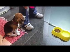 """Funny """"Beagley"""" Things! Why You Should Get A Beagle Dog. Episode #1 - YouTube"""