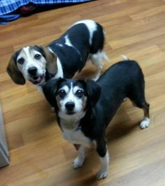 ADOPTED!❤️❤️❤️❤️❤️❤️ COLUMBIANA DOG POUND LISBON, OHIO... Beagles in photo have been adopted! Click link to see all available animals... https://www.petfinder.com/pet-search?shelterid=OH417
