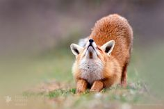 """Downward Fox - <a href=""""http://www.roeselienraimond.com"""">Roeselienraimond.com</a>   <a href=""""https://www.facebook.com/RoeselienRaimond"""">Facebook</a>   <a href=""""https://www.instagram.com/roeselienraimond/"""">Instagram</a>  Yoga Fox doing its stretching excercizes....;)"""